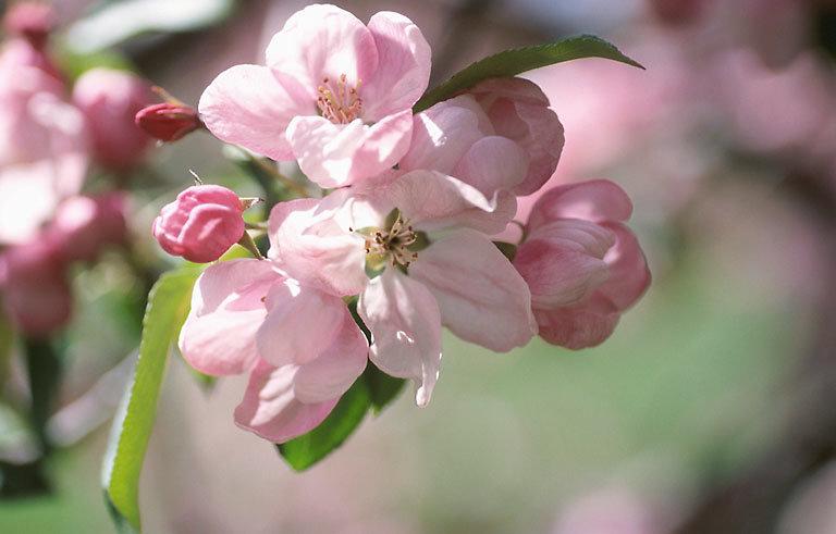 Pommier en fleur - Cidrerie Coat-Albret © Pascal Glais