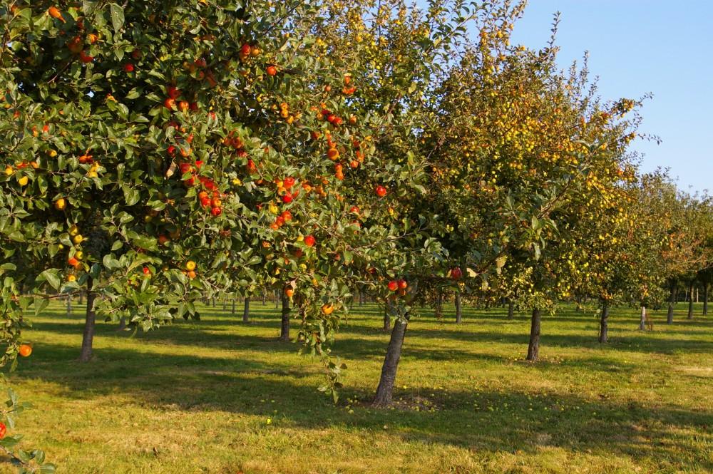 Pommier en pommes - Cidrerie Coat-Albret © Pascal Glais