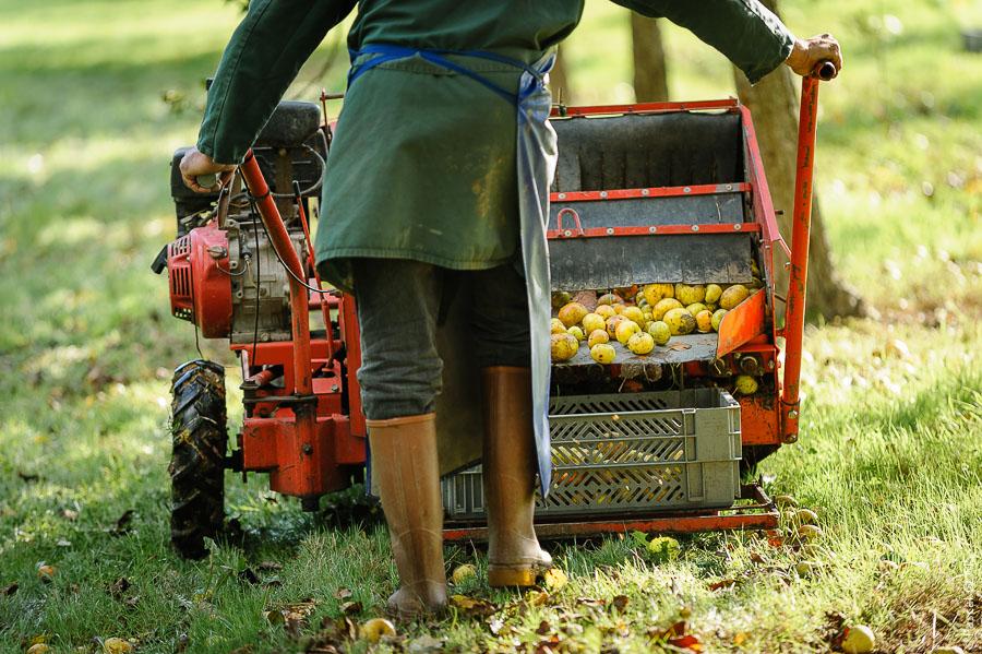 Rammassage de pommes - Cidrerie Coat-Albret © Pascal Glais