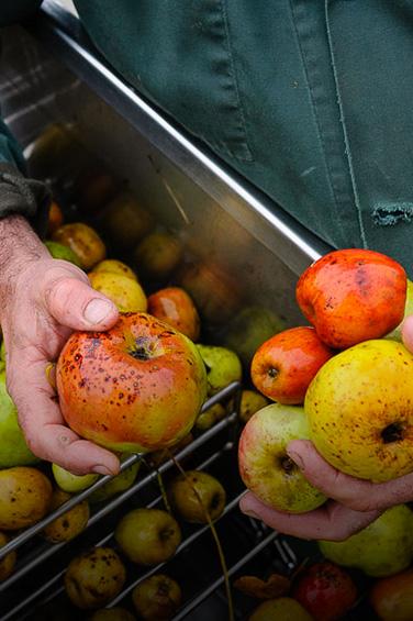Pommes à cidre produites en Bretagne